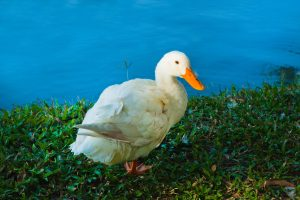 9 Reasons To Start Raising Ducks