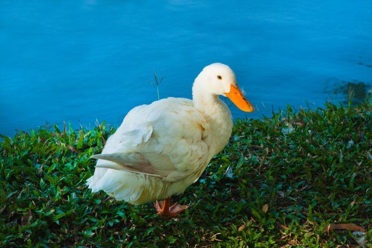 9 Reasons To Start Raising Ducks