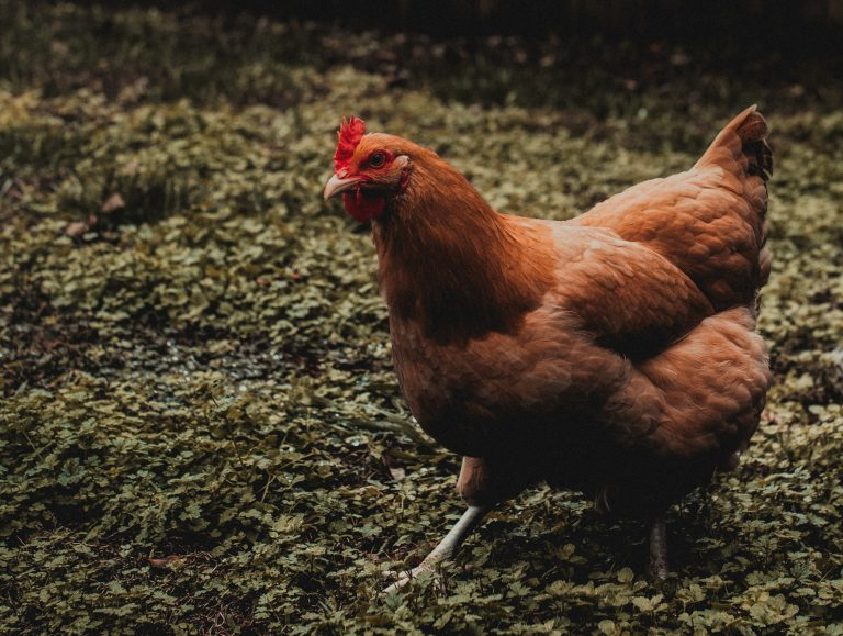 11 Reasons To Raise Backyard Chickens