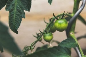 Read more about the article Is A Tomato A Fruit or Vegetable?