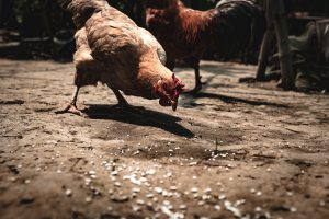 Read more about the article Complete Chicken Feed Guide
