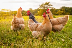 Step Aside, Old MacDonald: A Beginner's Guide on How to Raise Chickens